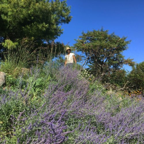 This Russian sage attracts so many bees!