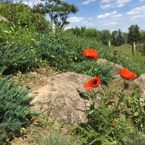 There is nothing like poppies on a rocky hillside!