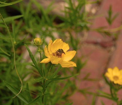 Native coreopsis - Coreopsis palmata