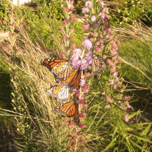 That's 8 Monarchs! 8!