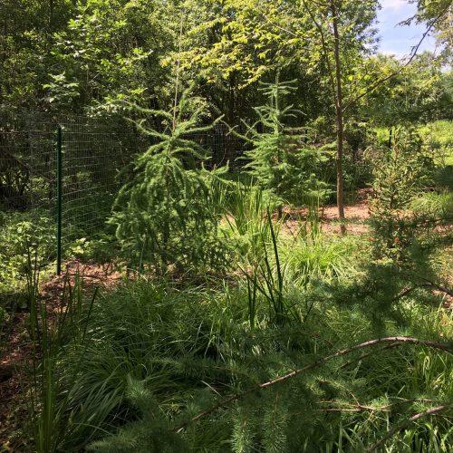 Larix laricina or tamarack - the perfect tree for the wetland garden.