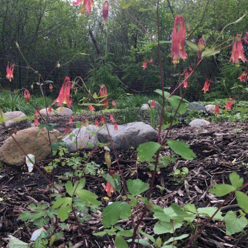 Native Columbine in the spring