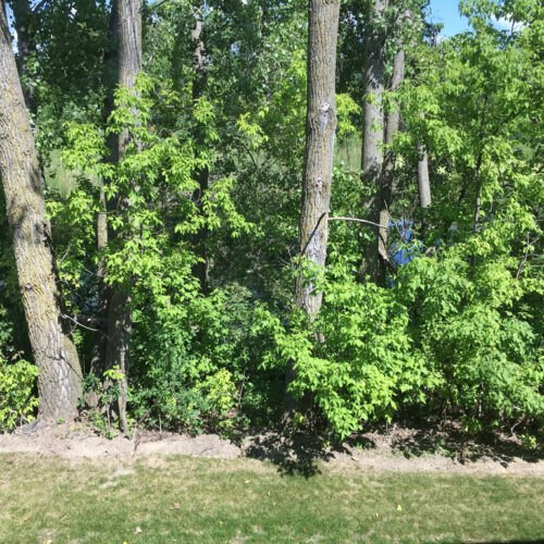 Before - overgrown with buckthorn