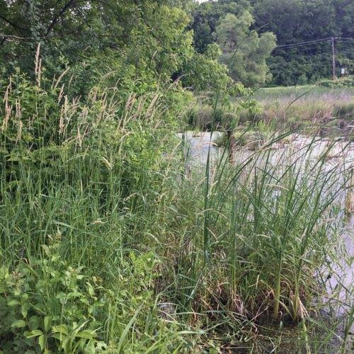 Before - overgrown shoreline