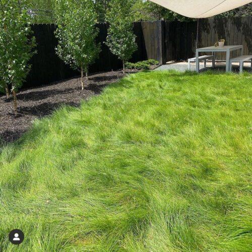 Sunny Low-Mow fescue lawn alternative