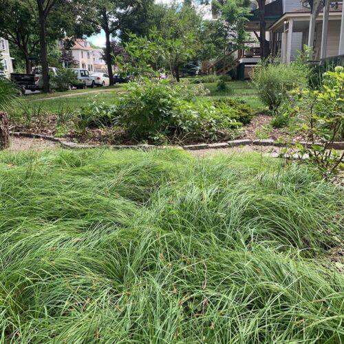 Sun/shade Carex lawn alternative