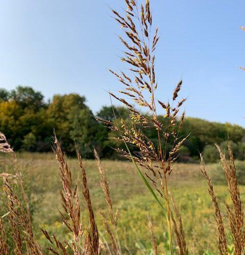 Sorghastrum nutans....Indian grass. A larval host to the pepper and salt skipper